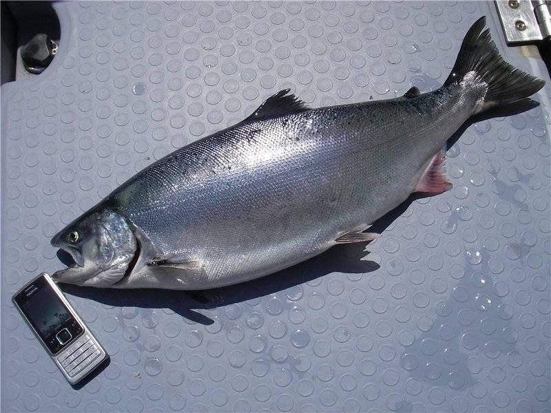 Пыжьян рыба описание и фото   где водится и как выглядит