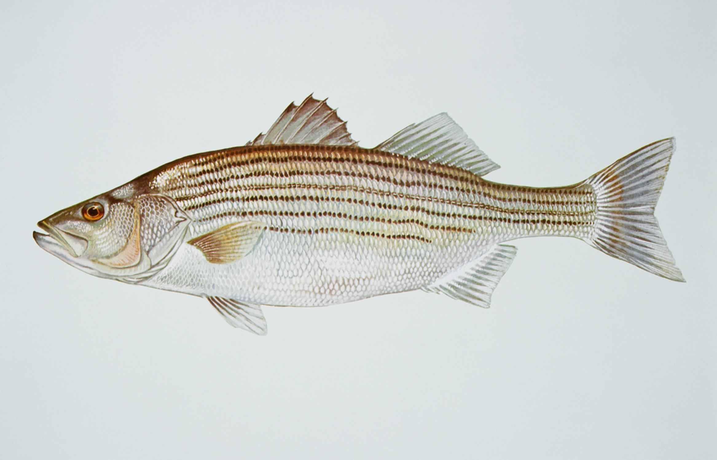 Полосатые аквариумные рыбки (28 фото): желтая с черными полосками, рыба-зебра и другие разновидности полосатиков для аквариума. характерные черты