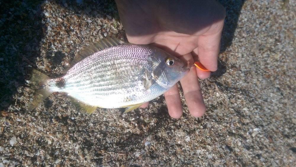 Морской карась: как называется, особенности рыбалки в черном море   berlogakarelia.ru