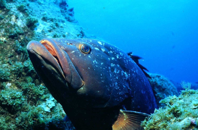 Рыба «Группер чёрный» фото и описание