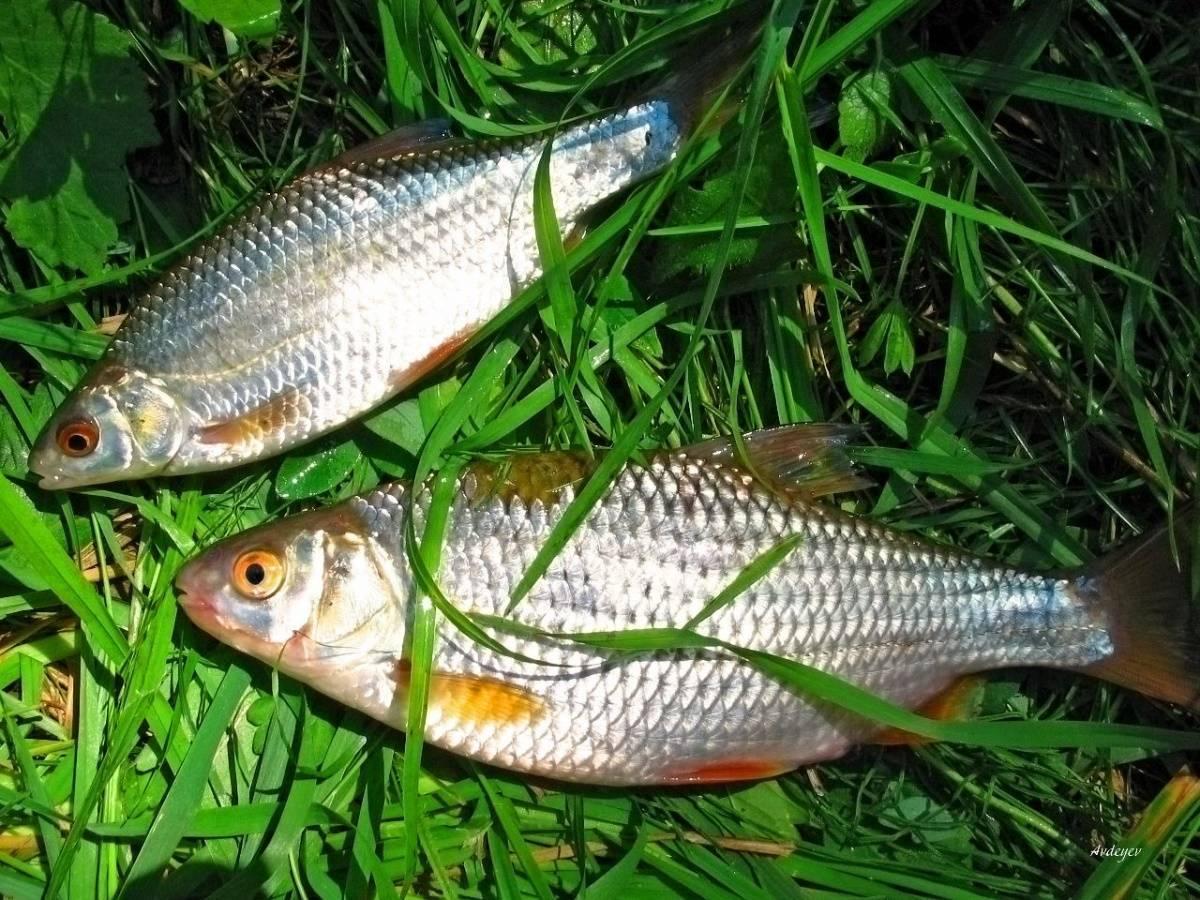 Рыба вобла: описание, где водится, ловля и как приготовить (солить, вялить)