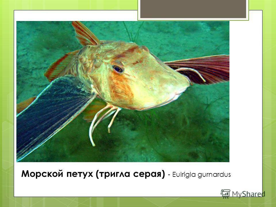 Рыба жерех. описание, особенности и среда обитания жереха    животный мир