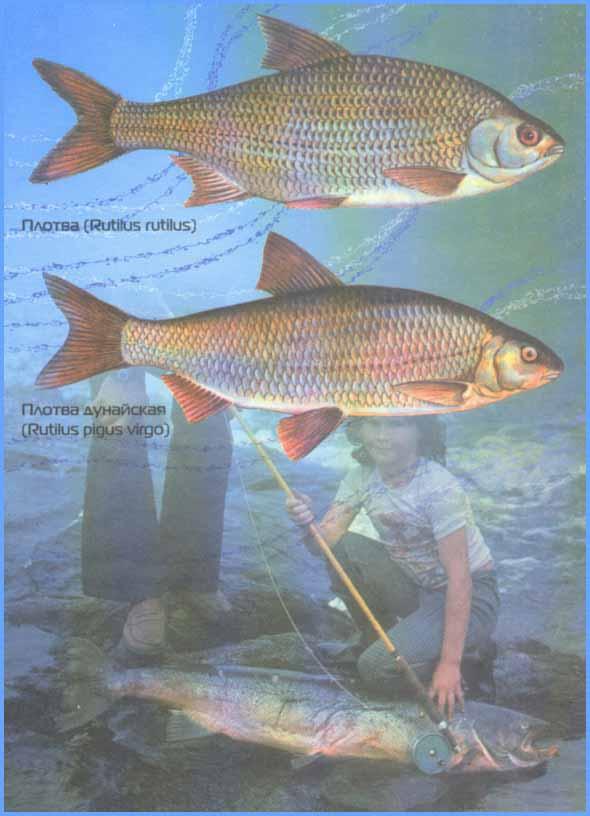 Всё о рыбе ротан: фото, описание, откуда взялся • мега рыбак
