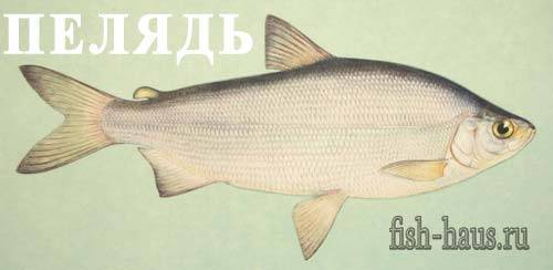 Рыба сырок фото и описание