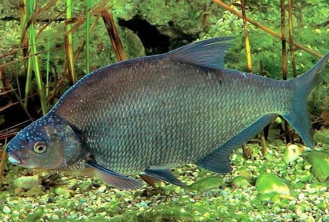 Лещ: описание рыбы, среда обитания, размножение, питание, ловля и разведение