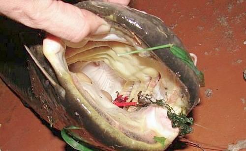 Куриное мясо и субпродукты как наживка для пресноводной рыбалки   все о рыбалке в израиле