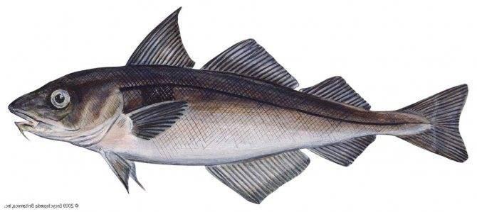 Пикша – польза и вред промысловой рыбы