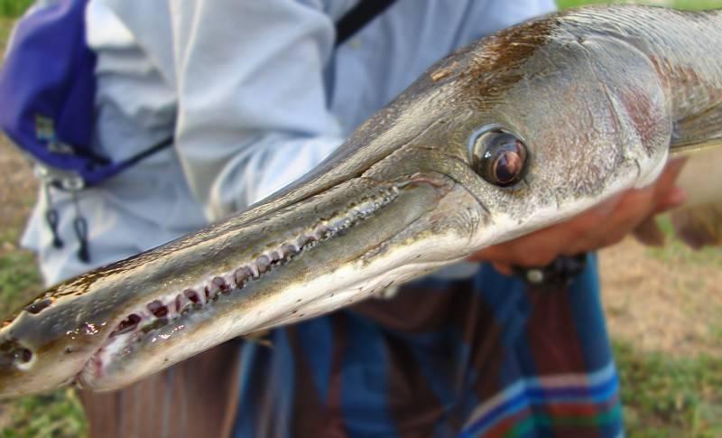 Миссисипский панцирник: среда обитания, особенности внешнего вида и поведения рыбы, размножение и ловля