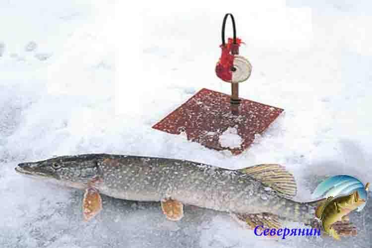 Ловля щуки зимой на жерлицы: техника и тактика ловли - рыбачок!сайт рыбачок