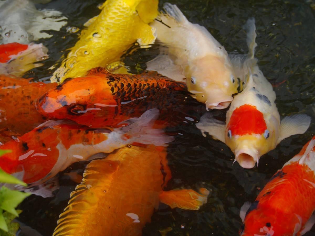 Кои (15 фото): содержание рыбок в аквариуме. чем кормить японского аквариумного парчового карпа? зеркальные рыбы и другие разновидности