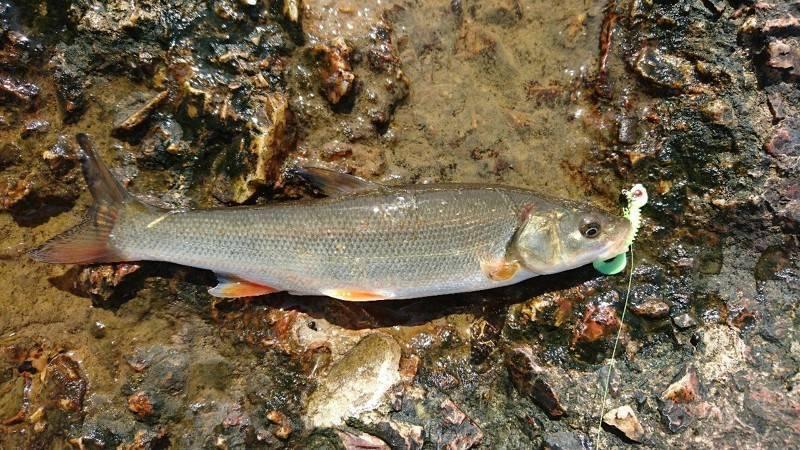 Микижа: фото, описание и места ловли рыбы микижи на камчатке