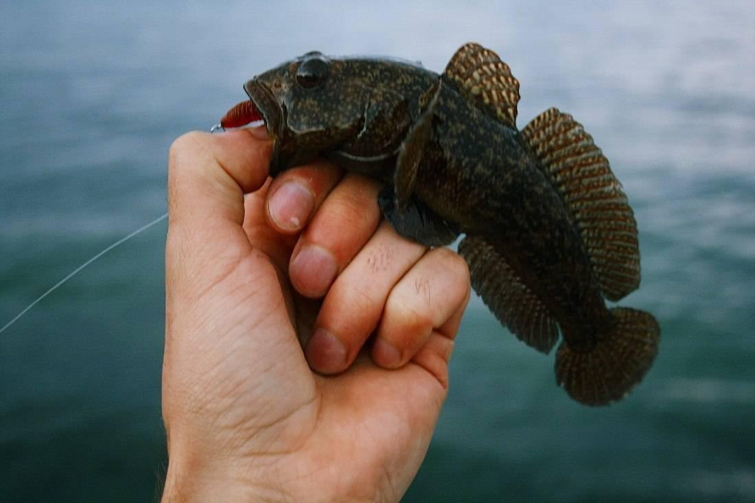 Что такое ротан: рыба бычок где водится, ловля на бутылку