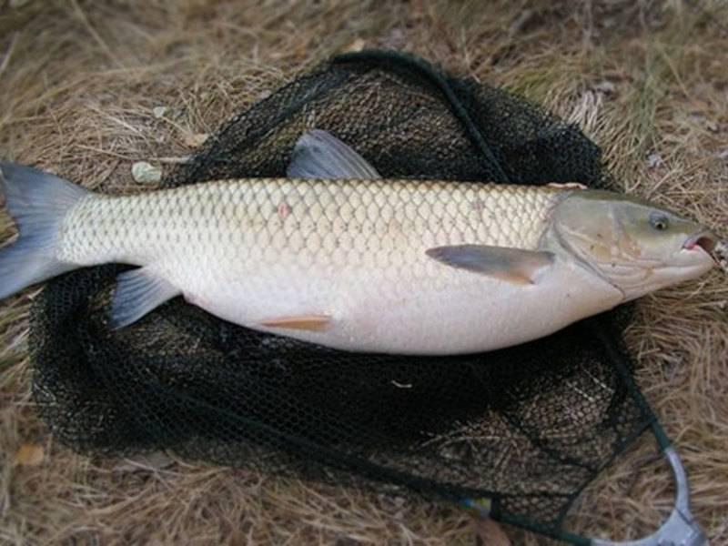 Полезные свойства рыбы белого амура: описание, состав