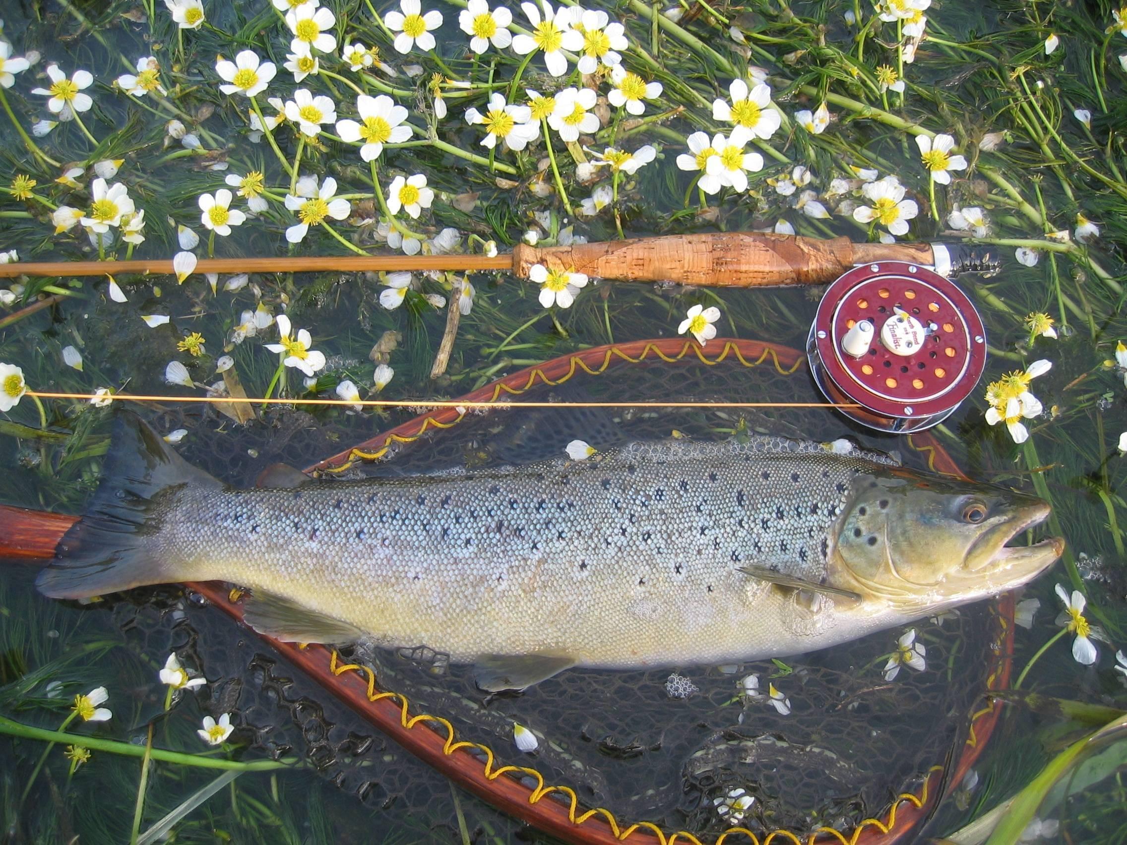 Рыба семга (морская и речная): как ловить на спиннинг, рецепты приготовления