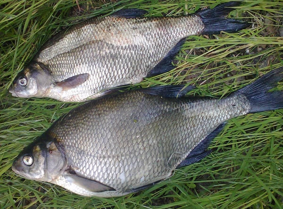 Рыба без костей: полный список видов с названиями и описанием