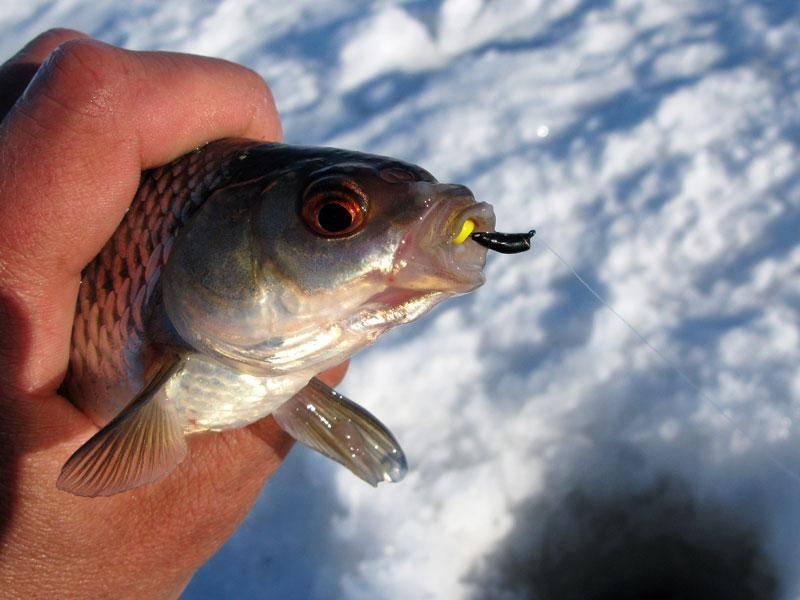 Ловля на безмотылку зимой: видео, секреты и техника зимней рыбалки по первому льду