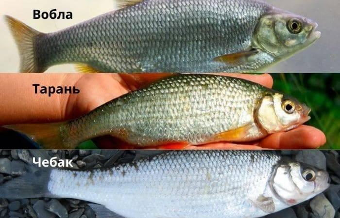 Рыба сорожка (плотва) – все лайфхаки и советы для рыбалки на одном сайте