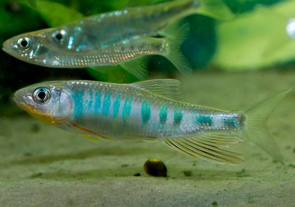 Усач – рыба с усами: где ловить, какие виды где обитают