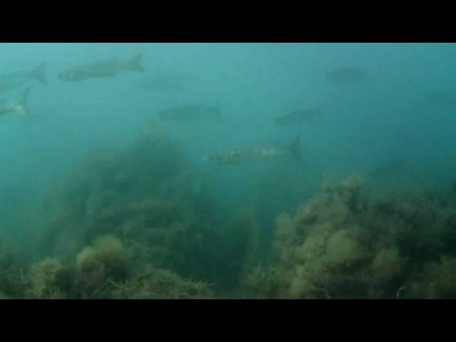 Подводная охота на черном море – рифовые, кефалевые и пелагические виды рыб