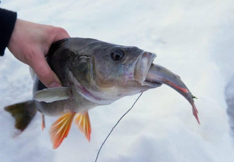 Ловля окуня на живца – рыбалке.нет