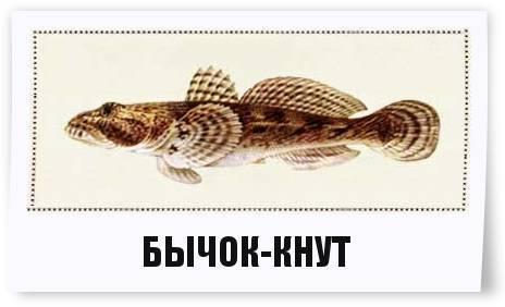 Рыбка бычок пятнистый или бычок-рыцарь