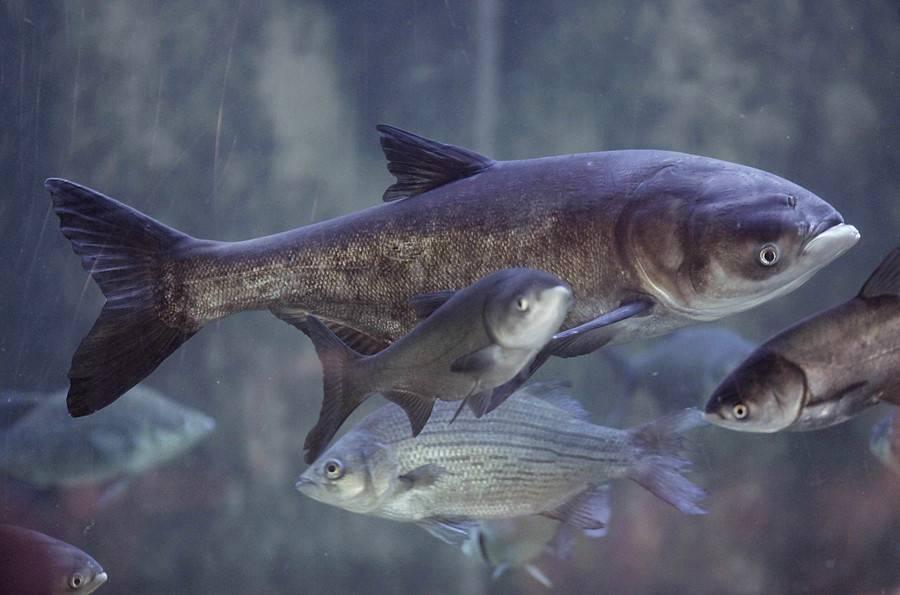 Толстолобик – описание рыбы, польза и вред, как хранить, рецепты приготовления на ydoo.info