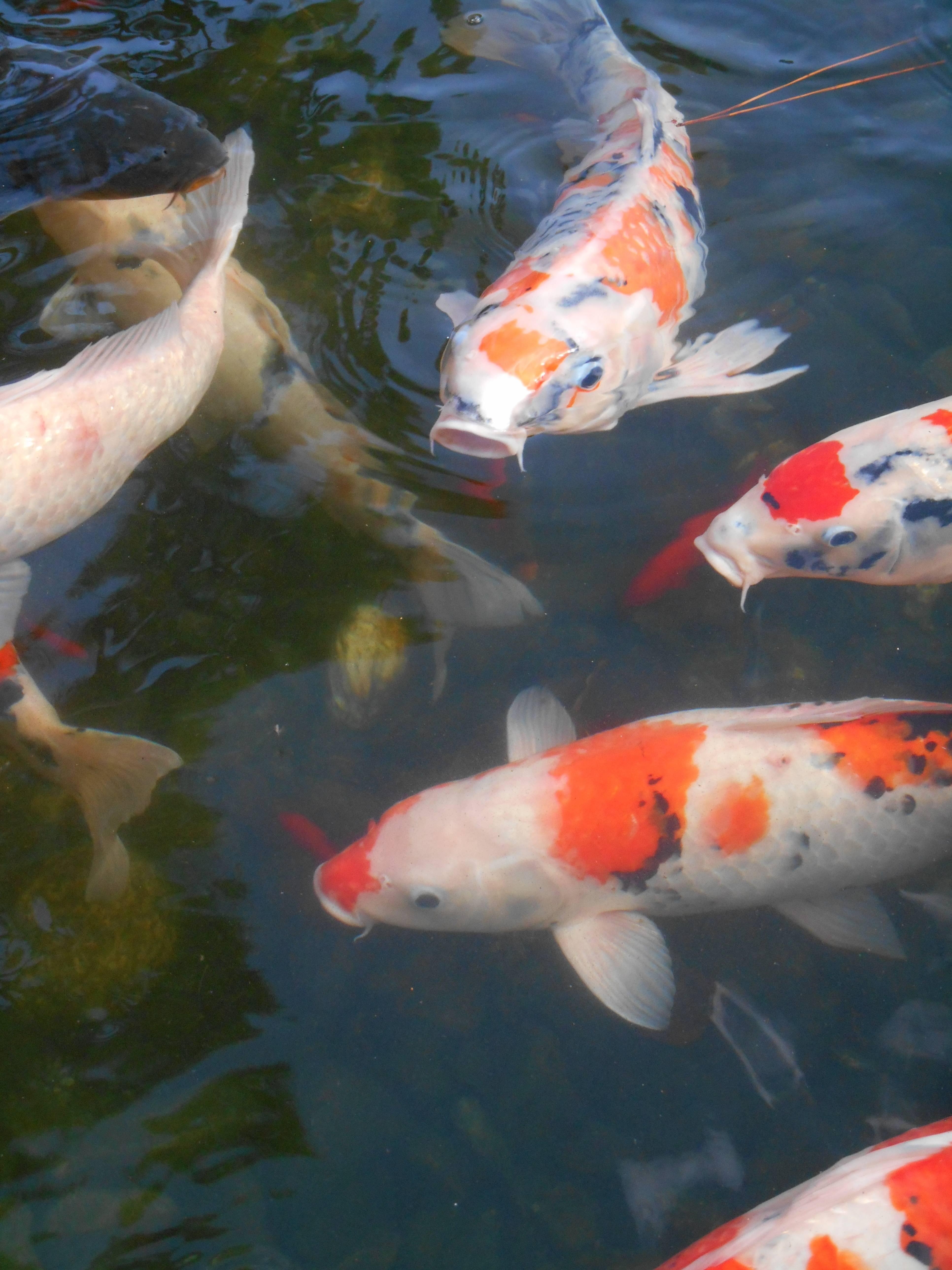Японские карпы кои: история происхождения красных и синих рыбок, требования к их содержанию