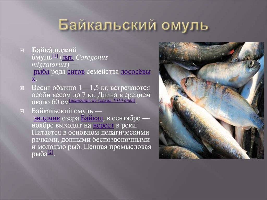Какая рыба водится в байкале - все виды рыб байкала