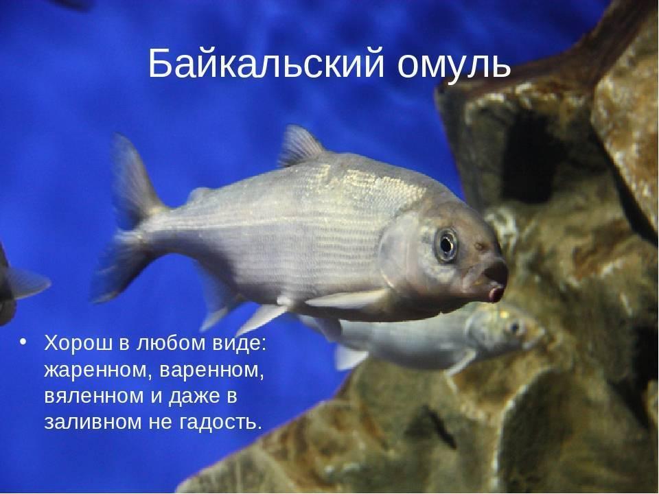 Какие рыбы обитают в озере байкал?