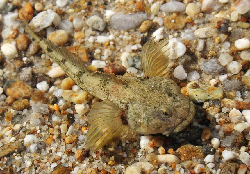 Подкаменщик сибирский   фото, виды рыб, ареал обитания, образ жизни и способ ловли