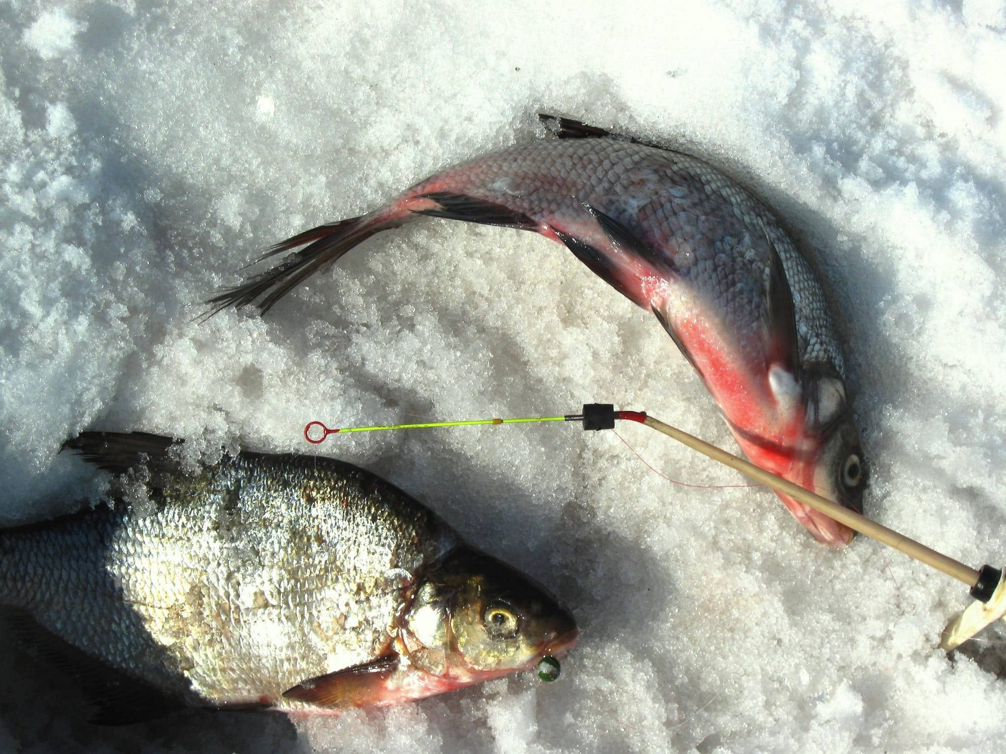 Ловля густеры осенью - читайте на сatcher.fish
