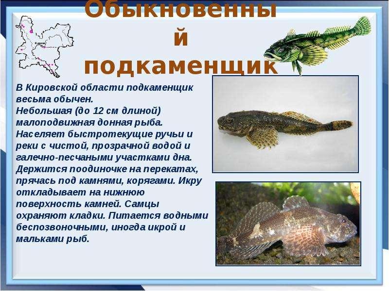 Подкаменщик обыкновенный – описание, среда обитания, хозяйственное значение
