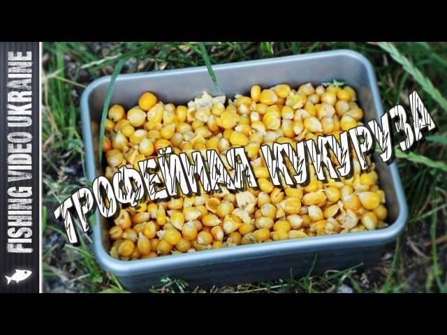 Ферментированная кукуруза для ловли карпа — 3 рецепта ведущих к успеху