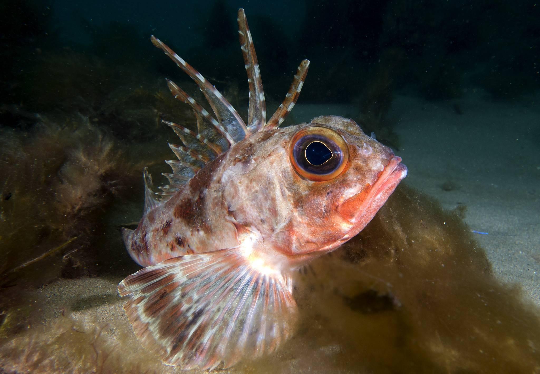 Морской окунь: особенности рыбы, тактика ловли, вкусовые качества