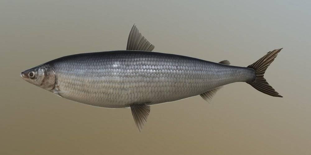 Рыба «Рипус» фото и описание