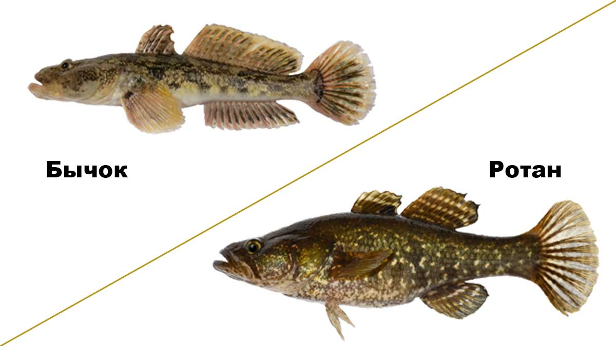 Рыба ротан, фото и особенности головешки, видео рыбной ловли летом