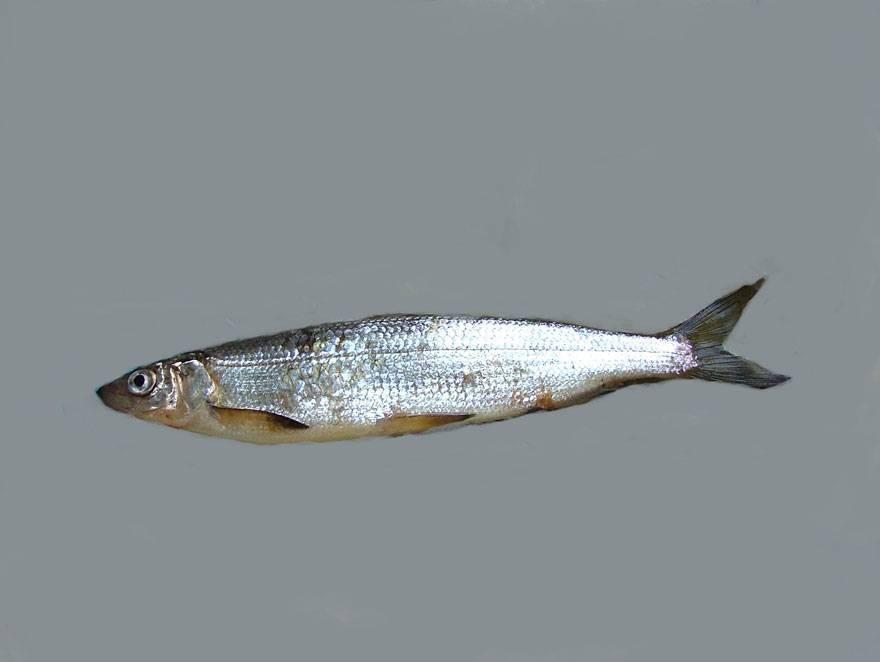 Рыба ряпушка: польза и вред для здоровья, калорийность - диковед