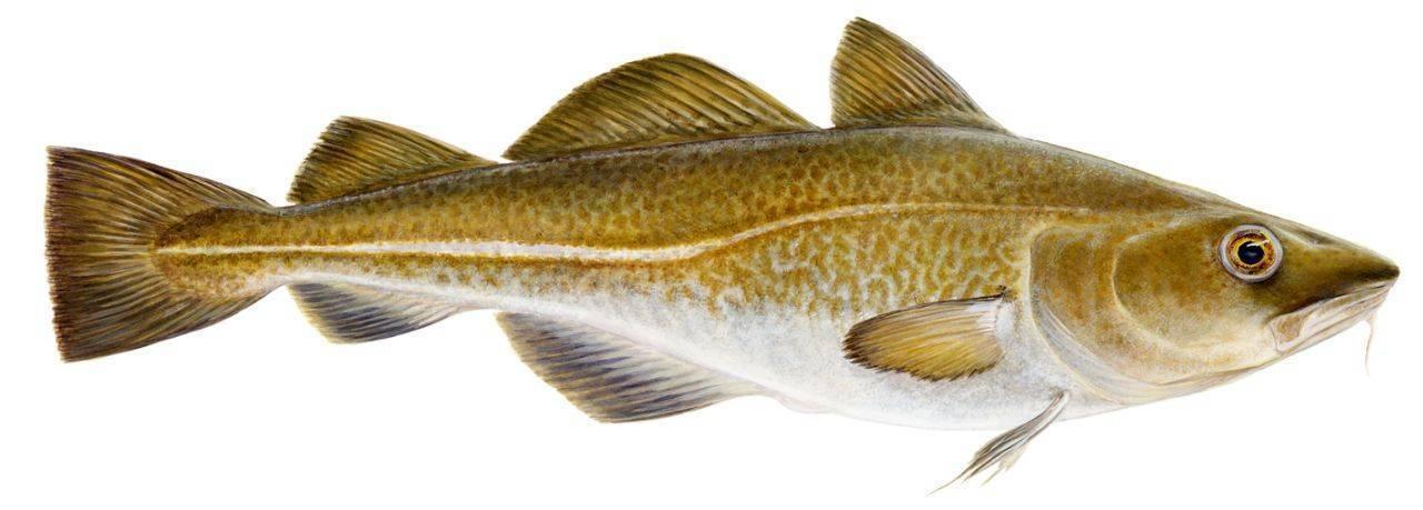 Рыба семейства тресковых, список тресковых пород рыб