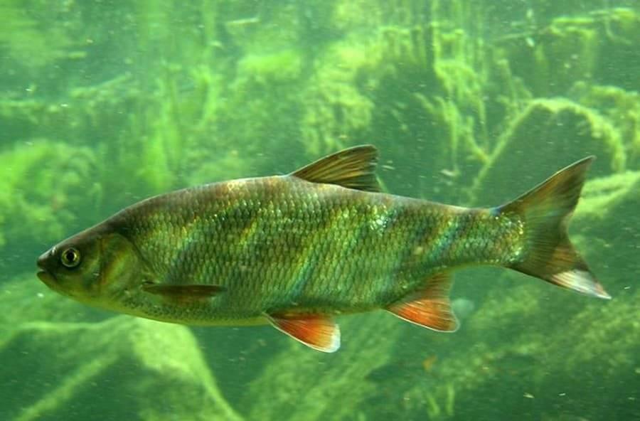Язь – фото, описание рыбы, на что ловить