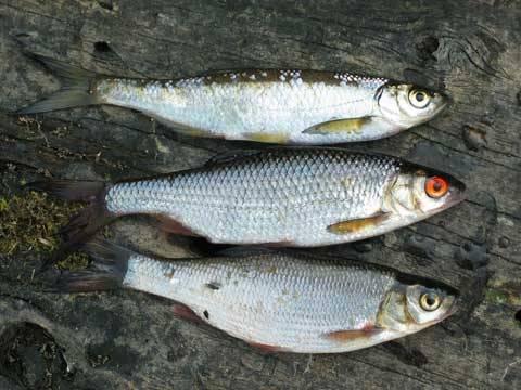 Азовская знаменитость – рыба шамайка