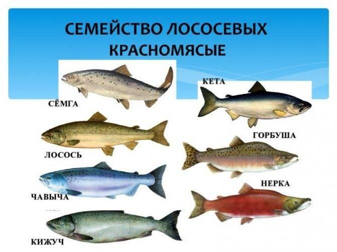 Молоки лососевых рыб: польза и вред, калорийность на 100 грамм