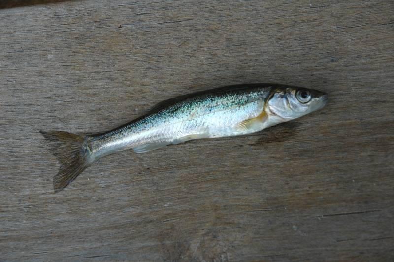 Гольян озерный фото — ловись рыбка
