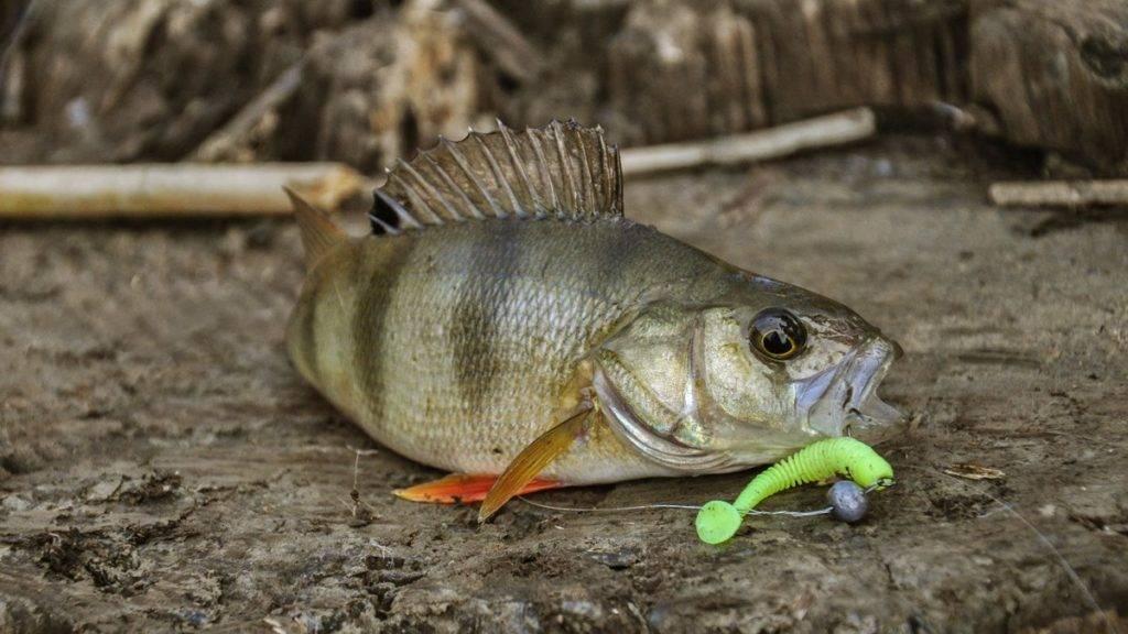 Рыбалка на спиннинг | спиннинг клаб - советы для начинающих рыбаков ловля окуня осенью на спиннинг: как и на что ловить