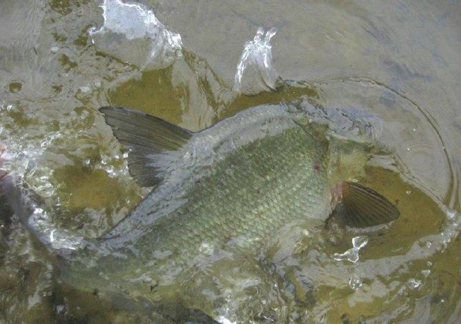 Рыба сазан — фото и описание