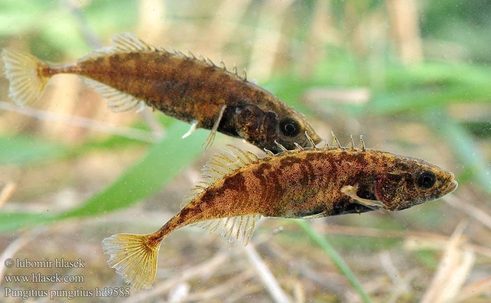 Колюха рыба. размножение колюшки трехигловой — фото колюшки трехигловой. распространение трехиглой колюшки