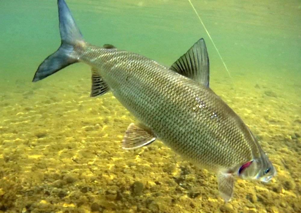 Как выглядит и где обитает рыба шамайка из красной книги