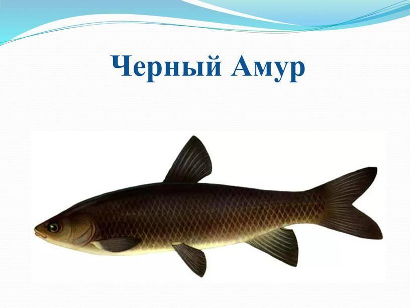 Дальневосточный деликатес — рыба белый амур, фото, польза и вред для нашего организма