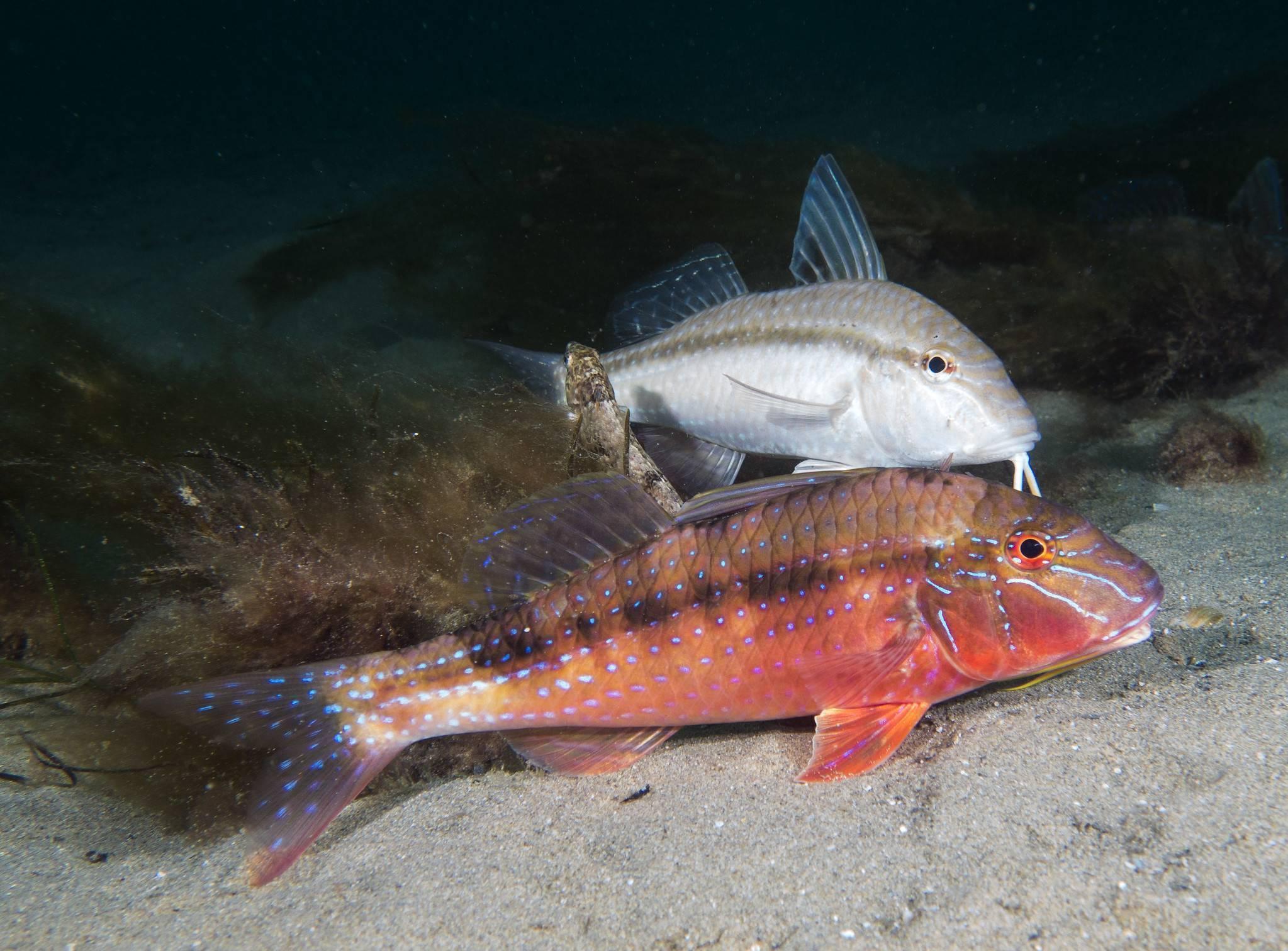 Рыба барабулька: состав и полезные свойства, калорийность барабульки