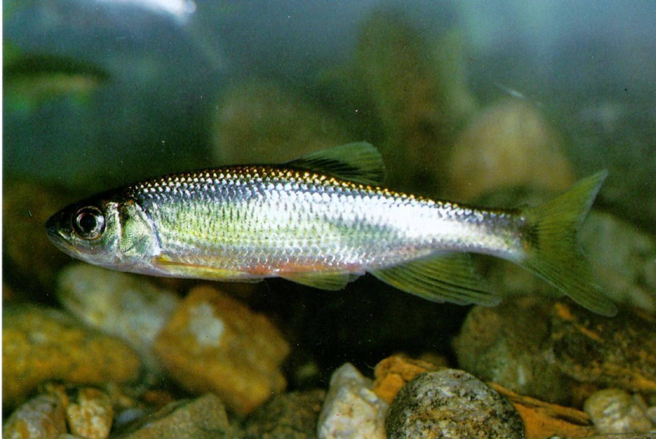 Рыба щиповка: описание, образ жизни, содержание в аквариуме