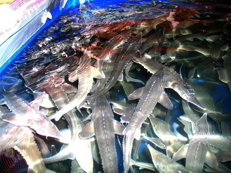 Как разводить осетровых рыб на продажу?